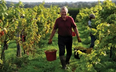 English vineyards expect vintage year thanks to the 'right weather in the right order'